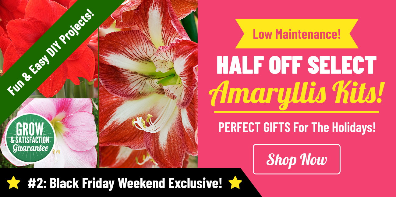 Shop HALF OFF Select Amaryllis Kits!