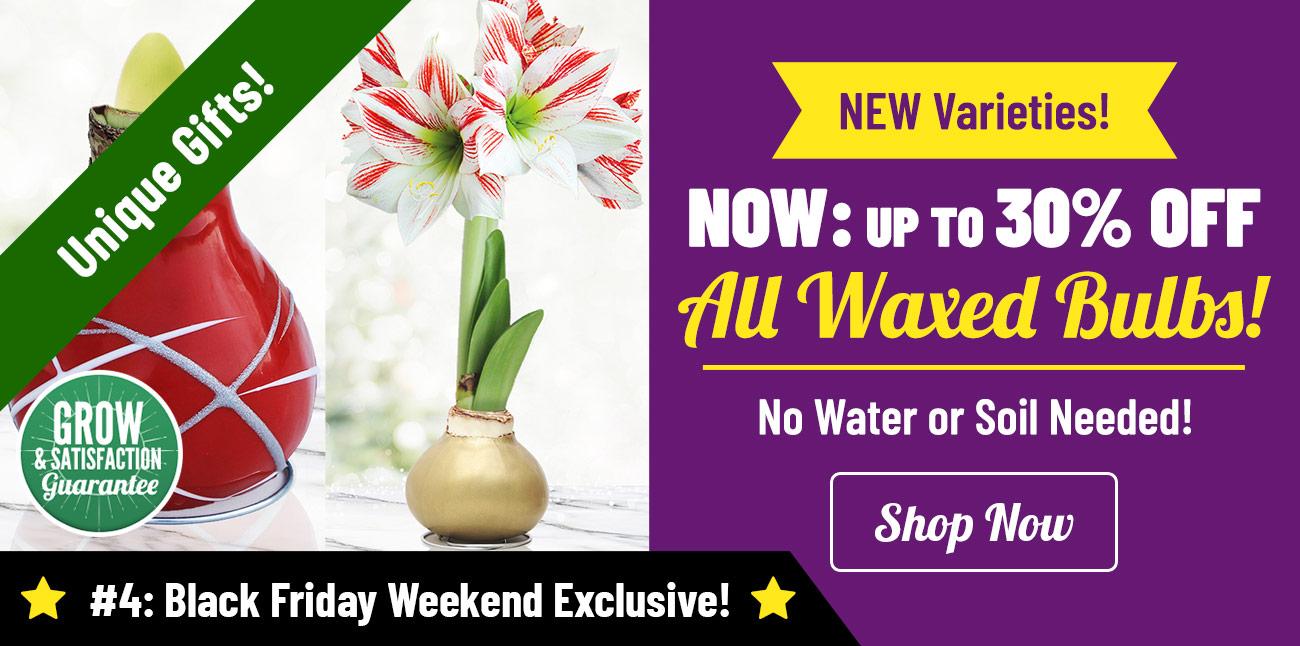 Shop Up To 30% OFF Waxed Amaryllis!